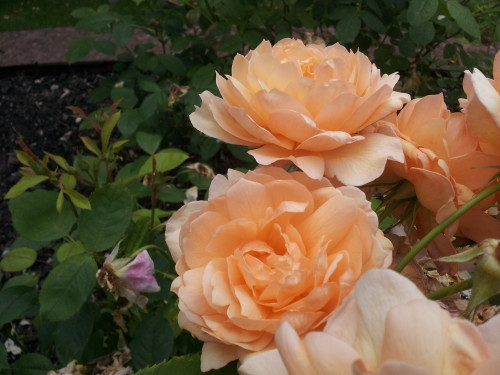 Existing Roses